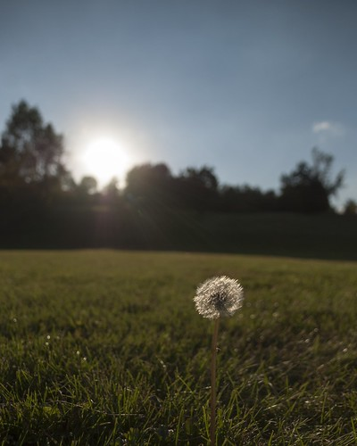 sunset summer field minnesota dandelion latesummer