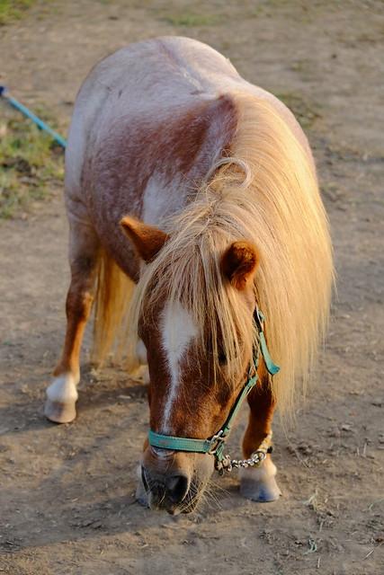 a ponny