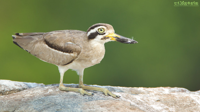 Great-Stone-Curlew