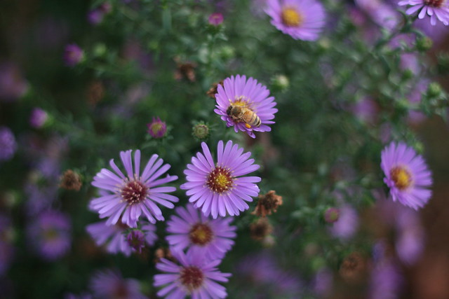 bee in purple flowers