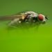 Die Fliege ( fly ) (Brachycera) @ Makro