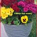 Mums - Lafayette Florist, Gift Shop & Garden Center
