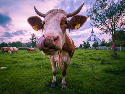 sunset germany bavaria cow lawn bruckmühl meaddow kirchdorfah schlösl