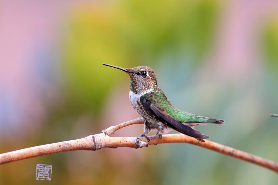 immature-Anna's-Hummingbird-0925