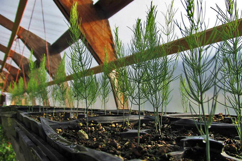 Asparagus Plants at Hope Hill Farm, Saltspring Island, Gulf Islands, British Columbia