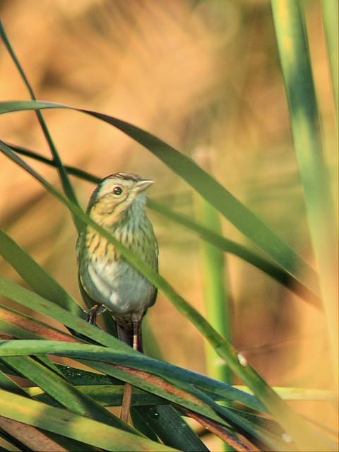 Lincolns Sparrow 20140929