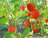 Sturbridge Village flower garden 1109 9-27-14
