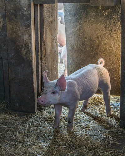 Piglet Comes Home by Geoff Livingston