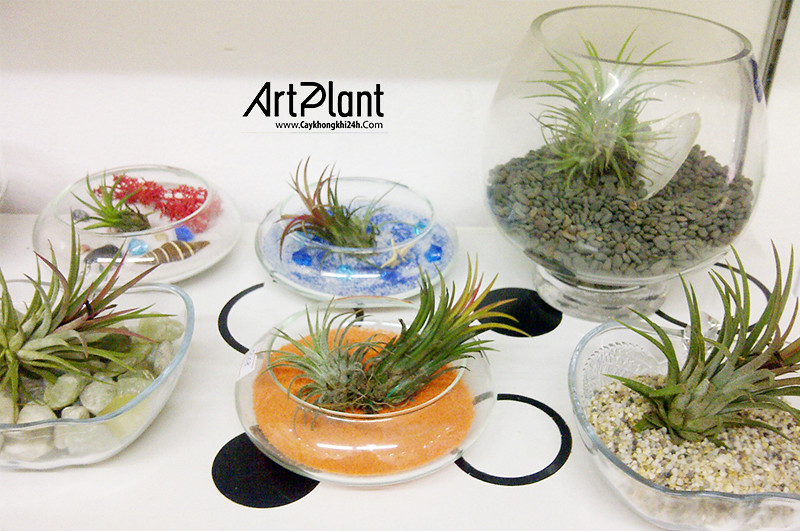 art plant | cay khong khi | tieu canh khong khi | terrarium | khong khi dua