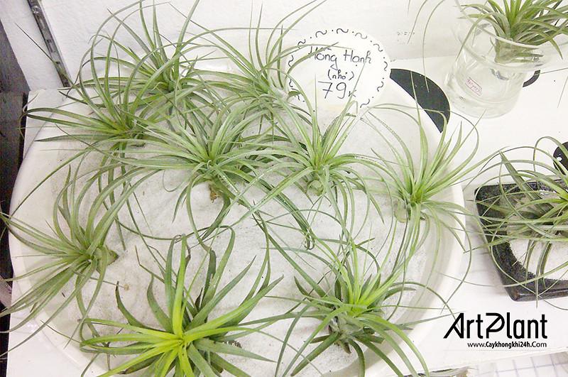 art plant | cay khong khi | tieu canh khong khi | terrarium | khong khi hong hanh