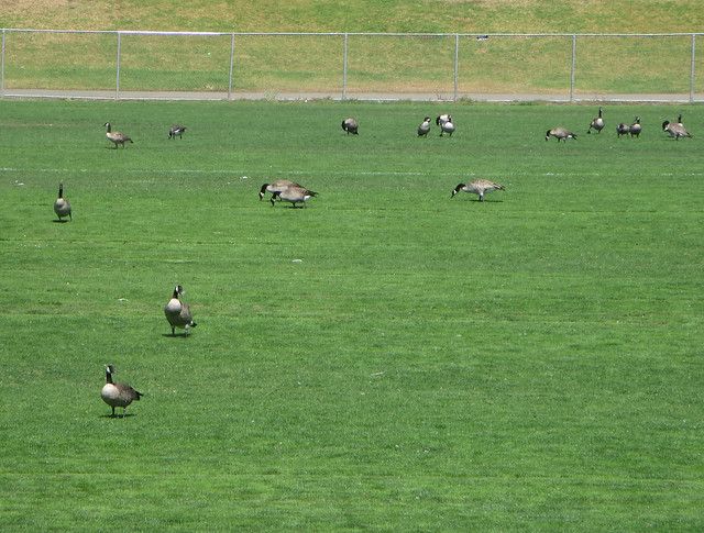 geese on polo fields, Golden Gate Park, San Francisco (2014)