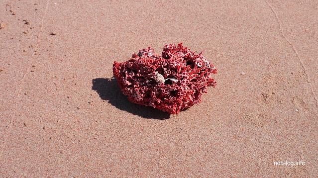 赤いサンゴ