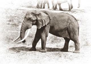 big tusker as sketch