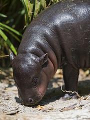 Drinking pigmy hippo baby