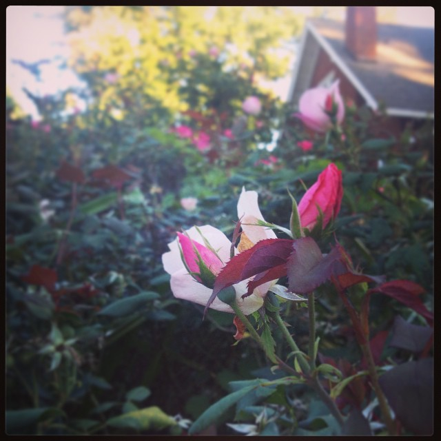 Saying goodbye (for the season) to the rose bush I've been stalking. Rose seems indifferent to me, frost.    #foundwhilerunning    Song of the Run: Fancy by Izzy Azalea