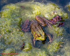 Green Frog - Ellington Agricultural Center - Sep 16, 2014