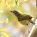Tennessee Warbler (TEWA)