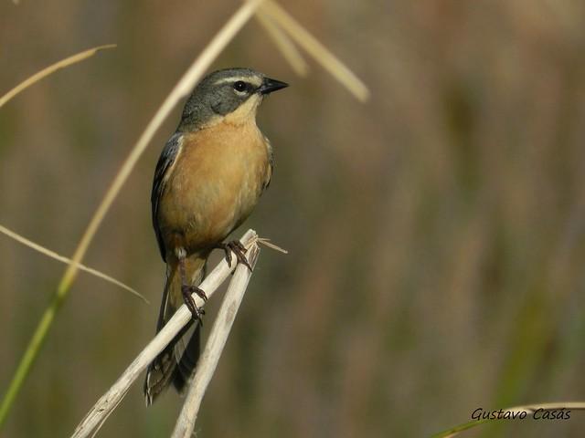 Monterita Cabeza Gris (Donacospiza albifrons)
