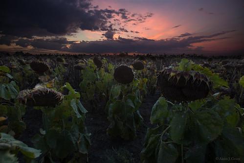 sunset red summer sky field southdakota death dusk end summit endofsummer sunflowerfield aaronjgroen homegroenphotography