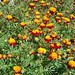 Marigolds in #Parkdale, #Toronto