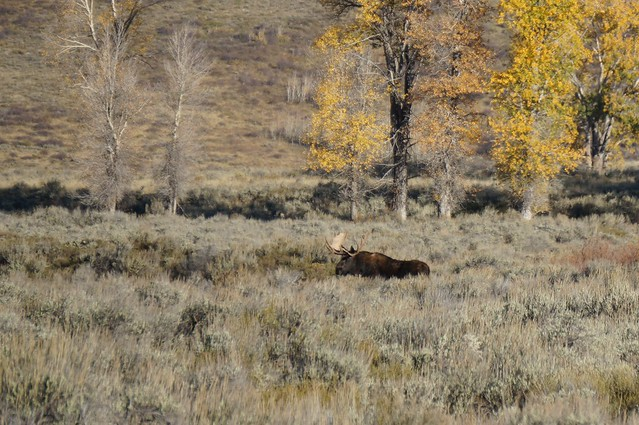 Bull Moose in Meadow, Grand Teton