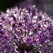 Allium after rain by Aslak - over 500.000 views :)