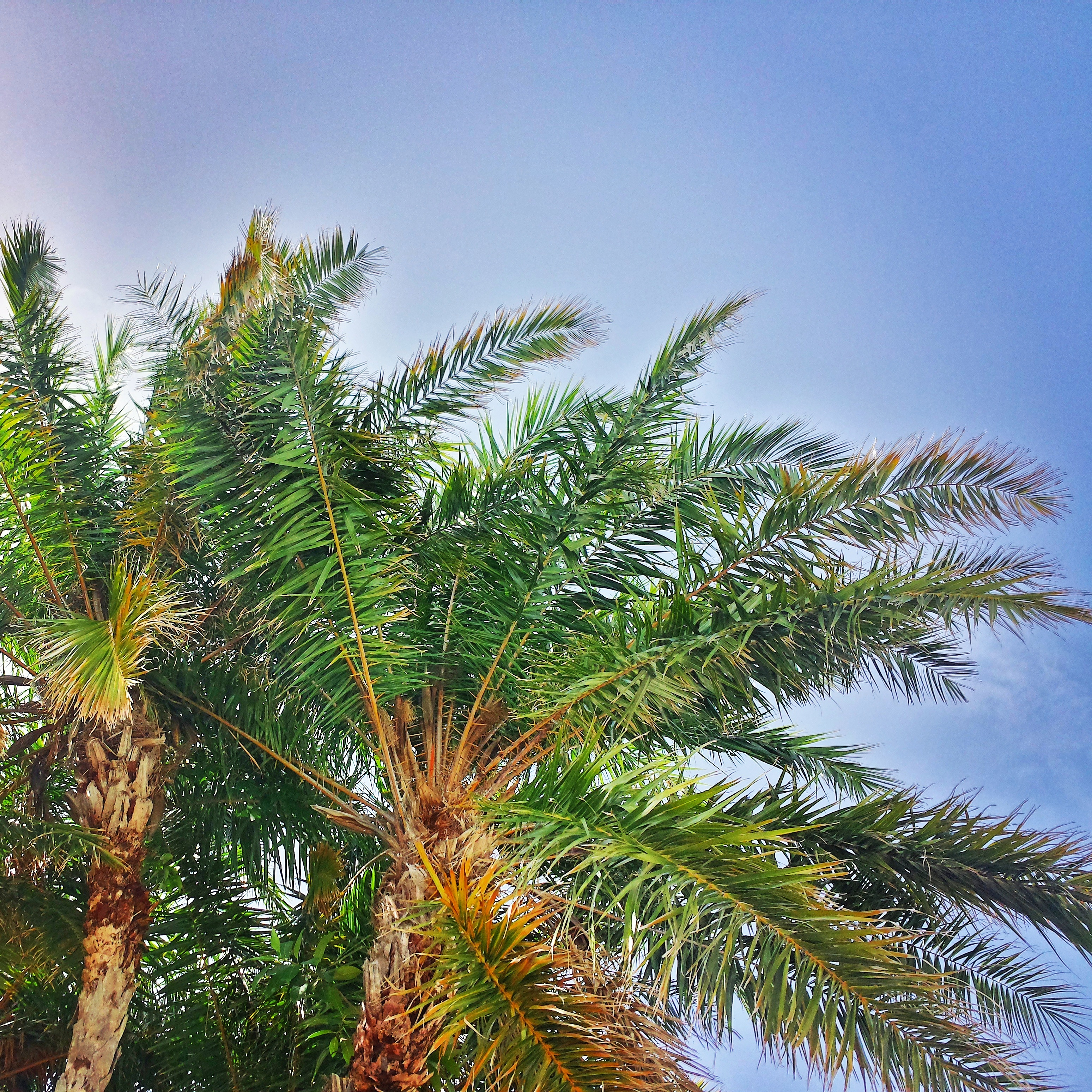 Boynton Beach palms