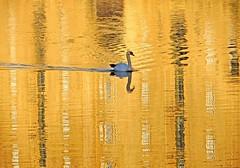 Swan Golden Pond