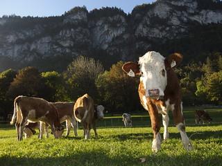 Kühe Österreich Tirol (c)