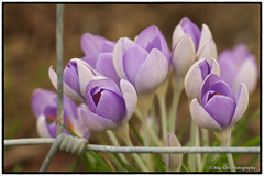Crocuses through a fence