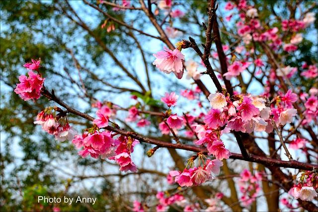 麗池櫻花47