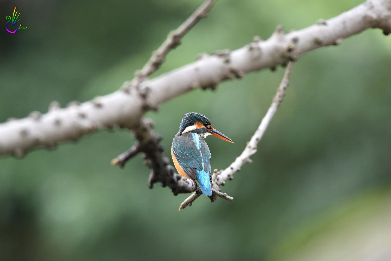Common_Kingfisher_4322