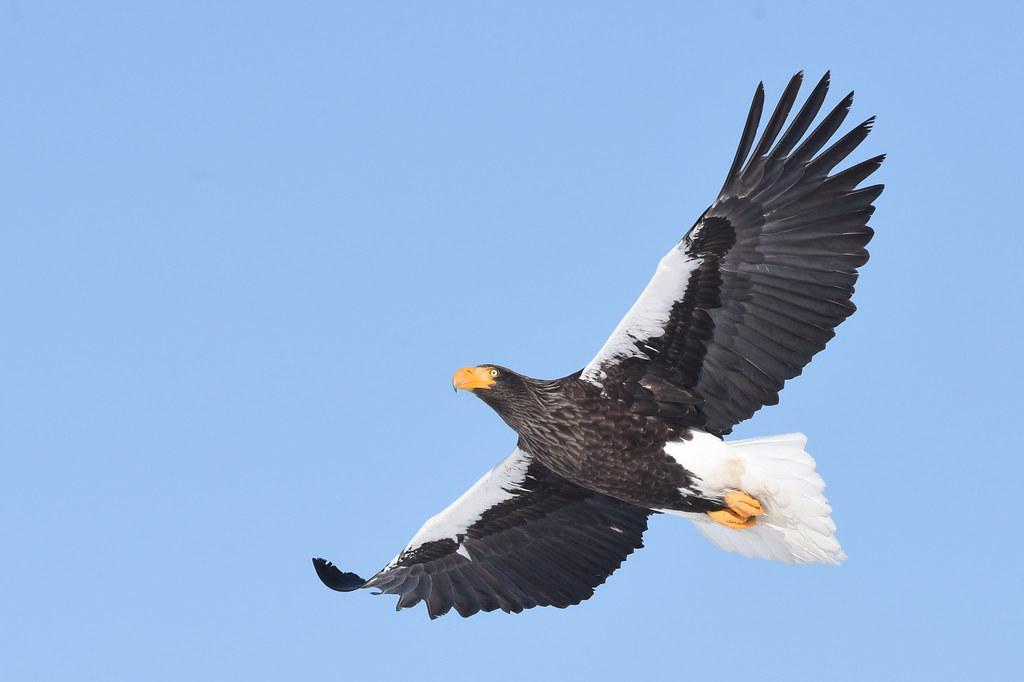 A Steller's sea eagle in flight (3)