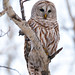 Barred Owl by tlhatfield