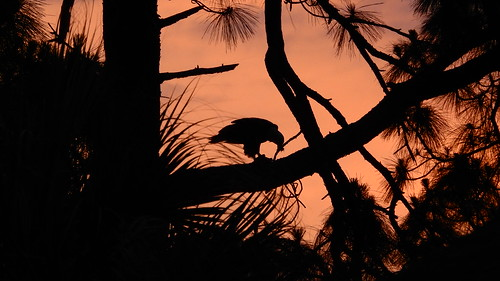 Bald Eagle's Sunset Dinner