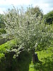 Apple Tree in full blossom