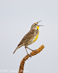 Meadowlark Sticks Out Tongue