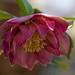Hellebores double petals