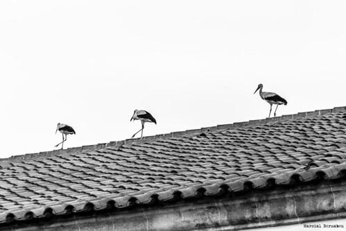 Spain - Cordoba - Pedroche - Storks