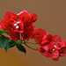 West End - Red Bougainvillea