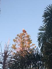Bald Eagle in Florida