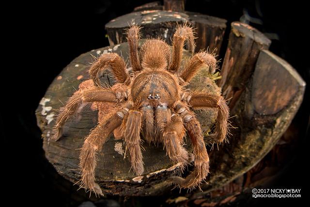 Tarantula (Theraphosidae) - DSC_3077