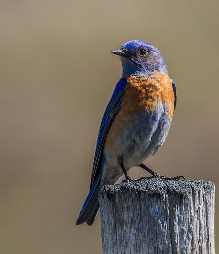 westernbluebird bluebird sialiamexicana sialia turdidae thrush beaverlakeroad lakecountry nigelje bird