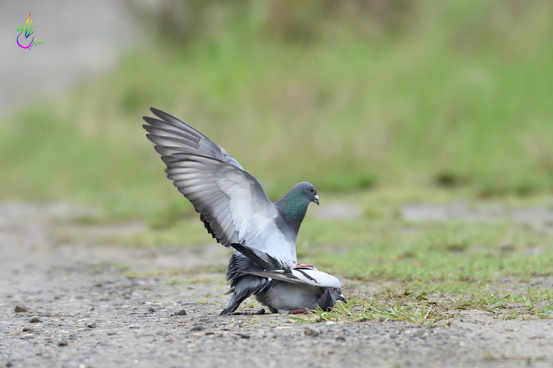 Pigeon_1792
