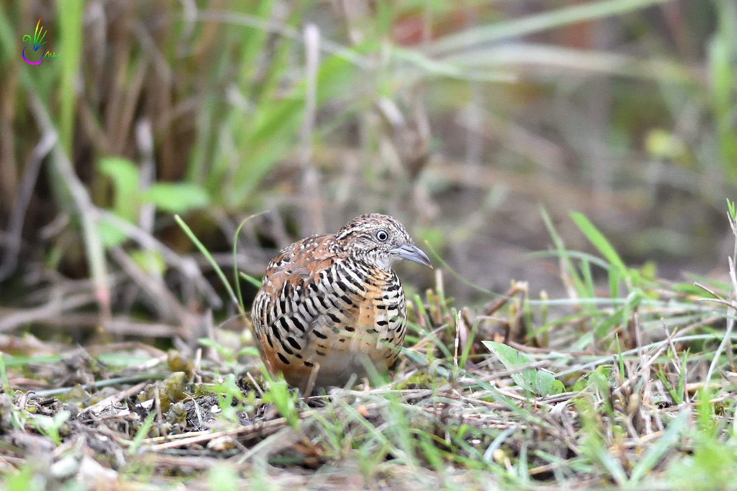 Barred_Buttonquail_1764
