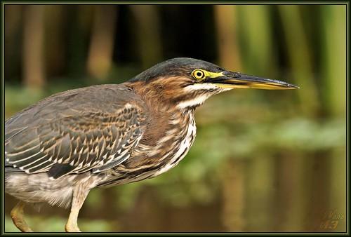 bird heron nature texas wildlife sony pasadena canoeing paddling a77 greenheron clearlakecity sonya77 wanam3