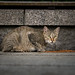 Hiroshima wild cat by Peti_Morgan