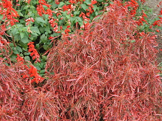 Picture of Copperleaf - Acalypha 'Firestorm'