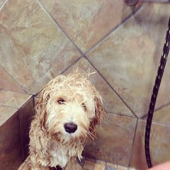 #wet #cockapoo