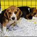 Beagle - Salon du chiot 2014 (4) ©Thomas Loire
